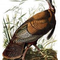 Wild turkey painted by John James Audubon.