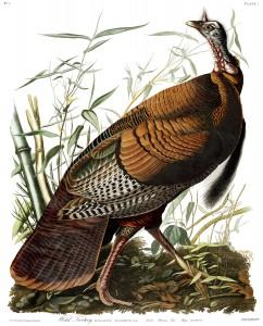 Wild turkey painted by John James Audubon.