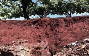 "The iron-rich red soil (""Terra Rossa"") of Australia's Coonawarra region forms a nurturing environment for Cabernet Sauvignon vines."