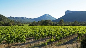 Château de Lancyre's vineyards for rosé grapes in Pic Saint Loup, with the peak of Pic St.-Loup in the distance.