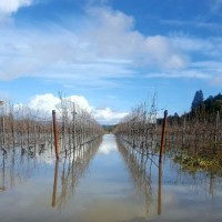 Flooded vineyard adjacent to Martin Ray Winery in Sonoma's Russian River Valley