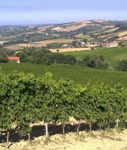 Torre Raone's Pecorino vineyards on Abruzzi's Colline Pescaresi hills.