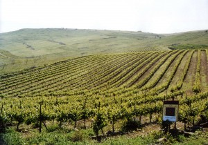 A scenic view of a Recanati vineyard in Israel.