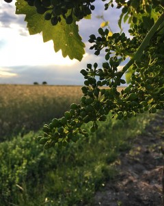 "Saint Laurent grapes in June 2020, shown on Weingut Erich Sattler's Facebook page. ""St.Laurent-Trauben kann man im Moment förmlich beim Wachsen zusehen! You can really watch the grapes growing at the moment!"""