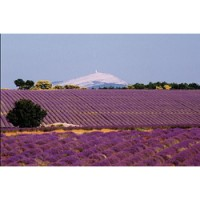 Mont Ventoux and lavender fields