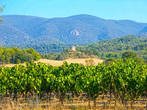 The Perrin Family's Luberon vineyards, with Mont Ventoux in the background.