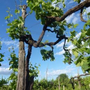 A vine against the sky.