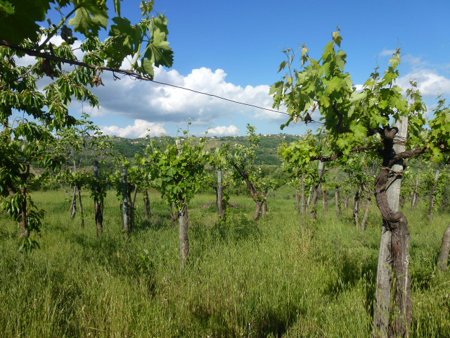 Vineyard of Campanian wines.