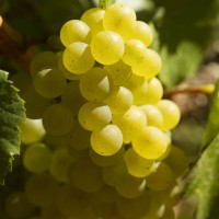 Ripe Chardonnay grapes growing in Burgundy. Photo by The Bourgogne Wine Board (BIVB).