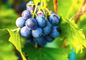 A beautiful bunch of ripe organic grapes, pictured in The Drinks Business.