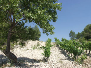 Stony vineyards at Domaine de Trevallon. Aix-en-Provence, during my June 2002 visit.